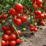 Диетологи назвали помидоры самым полезным продуктом в мире