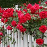 Как размножать розы черенками – 2 способа