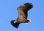Елабужский орнитолог открыл сезон кольцевания самой крупной хищной птицы в РТ — орлана-белохвоста