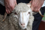 Около 150 жертвенных животных забили в Елабуге на Курбан-байрам
