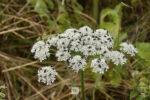 Свербига, пастернак, борщевик: какие съедобные растения растут в нашей полосе